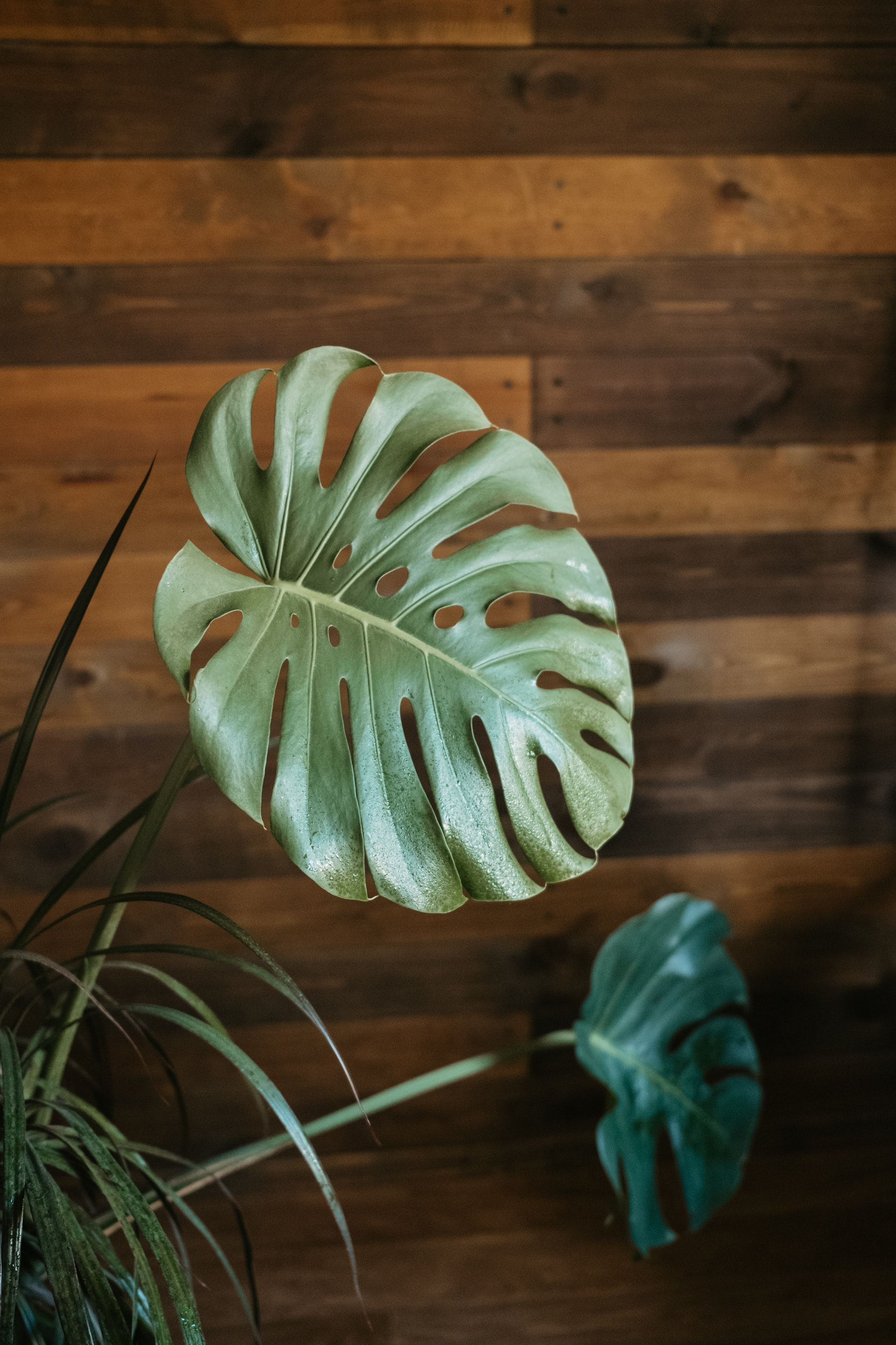 monstera pianta purifica aria